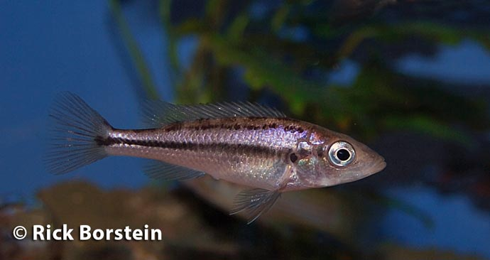 Haplochromis thereuterion Female