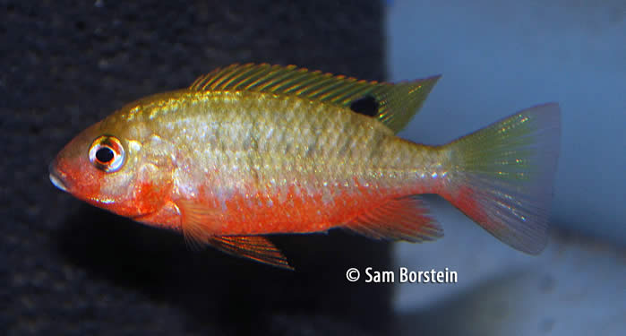 Tilapia snyderae Male